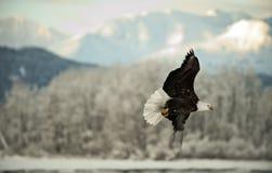 Облыселый орел летая. Стоковая Фотография RF