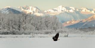 Облыселый орел летая. Стоковые Изображения RF