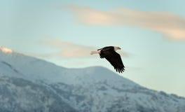 Облыселый орел летая. Стоковое Изображение RF