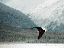 Облыселый орел летая. Стоковые Изображения