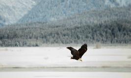 Облыселый орел летая. Стоковые Фотографии RF
