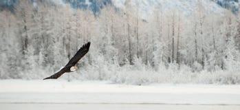 Облыселый орел летая. Стоковое Изображение