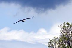 Облыселый орел летая Стоковые Фотографии RF