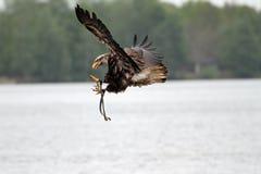 Облыселый орел летая Стоковое фото RF