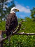 Облыселый орел на ветви Стоковые Фотографии RF