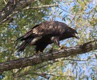 облыселый орел неполовозрелый Стоковая Фотография