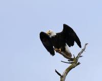 облыселый орел принимает Стоковые Фотографии RF