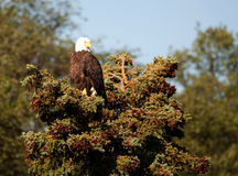 Облыселый орел садился на насест в evergreen стоковые изображения rf