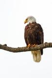 облыселый орел садился на насест Стоковое фото RF