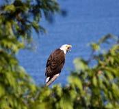 облыселый орел садился на насест Стоковая Фотография RF
