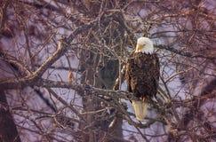облыселый орел Стоковые Фотографии RF