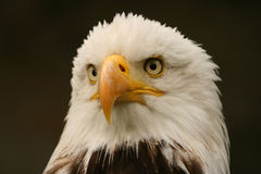 облыселый орел Стоковое Изображение RF