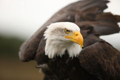 облыселый орел Стоковое фото RF