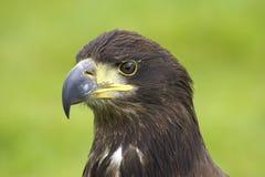 облыселый орел Стоковые Изображения RF