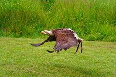 облыселый орел 6 Стоковая Фотография