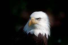 облыселый орел Стоковое Фото