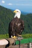 Облыселый орел (leucocephalus Haliaeetus). Стоковые Фото