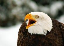 облыселый орел screaming Стоковые Фотографии RF