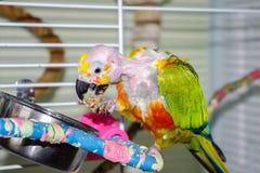 Облыселый попугай есть пшено при открытый клюв показывая язык Стоковая Фотография