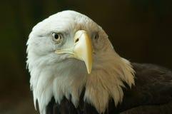 облыселый черный орел стоковые фотографии rf