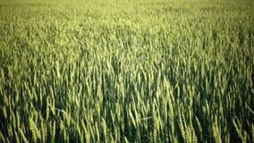 Обмотайте уши качаний панорамы зеленой пшеницы в дне лета солнечном видеоматериал
