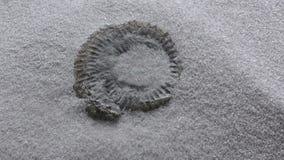 Обмотайте дуя песок для того чтобы показать аммонит ископаемый сток-видео