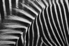 обнажает зебр Стоковое фото RF