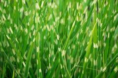 Обнажанная зеленая орнаментальная предпосылка травы Стоковая Фотография RF
