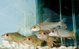 обнажанные рыбы 7 вырезуба Стоковая Фотография RF