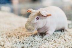 Обнаженная морская свинка стоковое фото