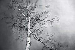 Обнаженное дерево березы в черно-белом стоковая фотография rf