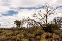 Обнаженное дерево в австралийской пустыне, захолустье в северных территориях, Австралии стоковая фотография