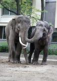 Обнимать 2 азиатских слонов Стоковое Изображение