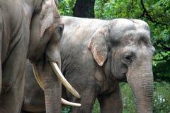 Обнимать 2 азиатских слонов Стоковая Фотография RF