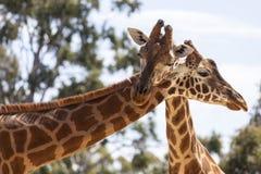 Обнимать жирафов Стоковое Фото