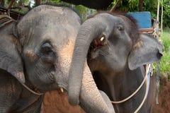 обнимать слонов пар Стоковое Фото