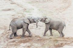 Обнимать слонов Стоковые Изображения