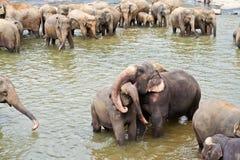 Обнимать elefants в реке Стоковое Изображение RF