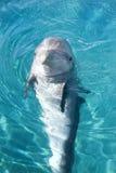 обнюханный дельфин бутылки Стоковые Фотографии RF