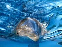 обнюханный дельфин бутылки Стоковое Фото
