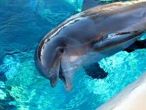 обнюханный дельфин бутылки Стоковое Изображение RF