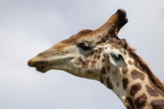 Обнюхивать жирафа Стоковое Изображение