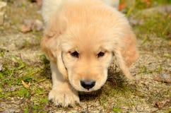 Обнюхивать щенка золотого Retriever Стоковое Изображение RF