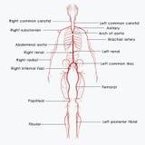 Обозначенные артерии иллюстрация вектора