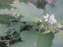 Обои баклажана шпината цветка Стоковые Изображения RF
