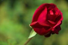 Обои красной розы в саде подъема, ludhiana Стоковая Фотография RF