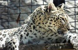 Обои крупного плана одичалого леопарда лежа на деревянной доске на зоопарке, портрете хищника кошачьем в клетке Стоковое фото RF
