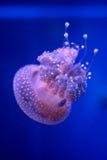обои медуз предпосылки голубые Стоковые Изображения RF