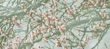Обои с ветвью вишневого цвета в японском саде в sprin стоковые изображения rf
