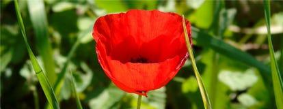Обои с крупным планом красного цветка мака на зеленой предпосылке луга стоковое изображение
